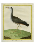 Purple Swamphen Giclee Print by Georges-Louis Buffon
