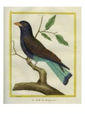 Cuckoo Roller Giclee Print by Georges-Louis Buffon