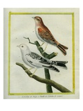 Snow Bunting and Female of Red-Headed Bunting Giclee Print by Georges-Louis Buffon