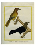 Common Grackle and Green Oriole Reproduction procédé giclée par Georges-Louis Buffon