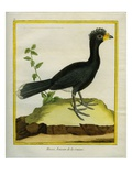 Yellow-Knobbed Curassow Giclee Print by Georges-Louis Buffon