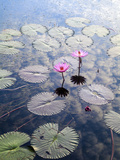 Indonesia, Sumatra, Samosir Island, Lake Toba, Water Lillies Photographic Print by Jane Sweeney