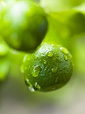 Unripe Oranges with Drops of Water Photographic Print by Toni Eichhorn