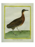 Variegated Tinamou Giclee Print by Georges-Louis Buffon