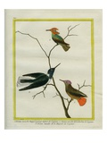 Cayenne Hummingbirds Giclee Print by Georges-Louis Buffon
