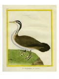 Sungrebe Giclee Print by Georges-Louis Buffon