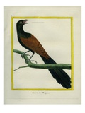 Philippine Hawk-Cuckoo Reproduction procédé giclée par Georges-Louis Buffon