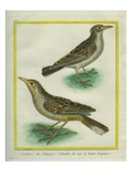 Eurasian Skylark and Oriental Skylark Reproduction procédé giclée par Georges-Louis Buffon