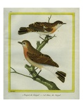Northern Wheatear and Storm Petrel Giclee Print by Georges-Louis Buffon