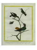 Hummingbirds Giclee Print by Georges-Louis Buffon