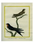 Chimney Swift and Sand Martin Giclee Print by Georges-Louis Buffon