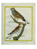 Woodchat Shrike and Blue-Fronted Redstart Giclee Print by Georges-Louis Buffon