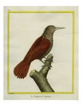Straight-Billed Woodcreeper Giclee Print by Georges-Louis Buffon