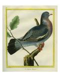 Wood Pigeon Impression giclée par Georges-Louis Buffon
