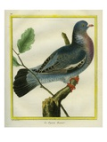 Wood Pigeon Giclee Print by Georges-Louis Buffon