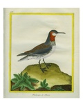 Red-Necked Phalarope Giclee Print by Georges-Louis Buffon