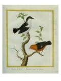 White-Bearded Manakin and Orange-Bellied Manakin Giclee Print by Georges-Louis Buffon