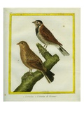 Ortolan Bunting and Reed Bunting Giclee Print by Georges-Louis Buffon