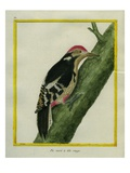 Red-Bellied Woodpecker Giclee Print by Georges-Louis Buffon
