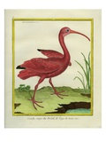 The Brazilian Red Curlew Impression giclée par Georges-Louis Buffon