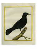 Western Jackdaw Giclee Print by Georges-Louis Buffon