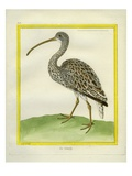Curlew Giclee Print by Georges-Louis Buffon