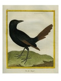 Senegal Magpie Giclee Print by Georges-Louis Buffon
