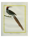 Gurney's Sugarbird Giclee Print by Georges-Louis Buffon