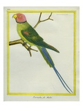 Seychelles Parakeet Giclee Print by Georges-Louis Buffon