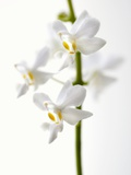 White Orchids Photographic Print