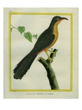 Mangrove Cuckoo Reproduction procédé giclée par Georges-Louis Buffon