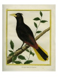Crested Oropendola Giclee Print by Georges-Louis Buffon