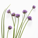 Flowering Chives Photographic Print by Brigitte Wegner