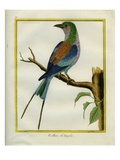 Angolan Roller Reproduction procédé giclée par Georges-Louis Buffon