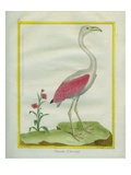 American Flamingo Giclee Print by Georges-Louis Buffon