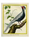 Silver Pheasant Impression giclée par Georges-Louis Buffon
