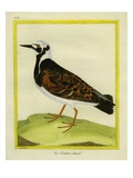 Ruddy Turnstone Giclee Print by Georges-Louis Buffon
