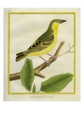 Female African Golden Oriole Reproduction procédé giclée par Georges-Louis Buffon