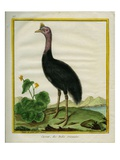 Northern Cassowary Giclee Print by Georges-Louis Buffon