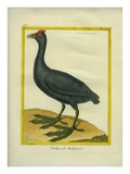 Red-Knobbed Coot Reproduction procédé giclée par Georges-Louis Buffon