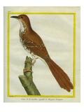 Northern Mockingbird Giclee Print by Georges-Louis Buffon