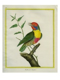 Lemon-Throated Barbet Giclee Print by Georges-Louis Buffon