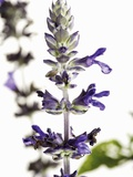 Flowers of Salvia Speciosa Photographic Print by Dieter Heinemann