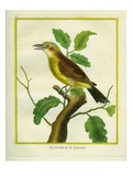 Northern Shrike Giclee Print by Georges-Louis Buffon