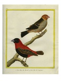 Grosbeaks Giclee Print by Georges-Louis Buffon
