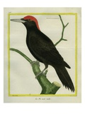 Male Black Woodpecker Giclee Print by Georges-Louis Buffon