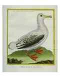 Albatross Giclee Print by Georges-Louis Buffon
