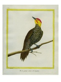 Yellow-Throated Woodpecker Giclee Print by Georges-Louis Buffon