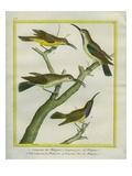 Tree Creeper, Brown Treecreeper, Le Petit Grimpereau Et Le Grimpeau Olive Des Philippines Giclee Print by Georges-Louis Buffon