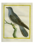 Common Cuckoo Giclee Print by Georges-Louis Buffon